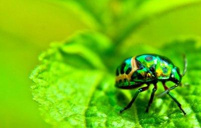 Kumbang Hijau